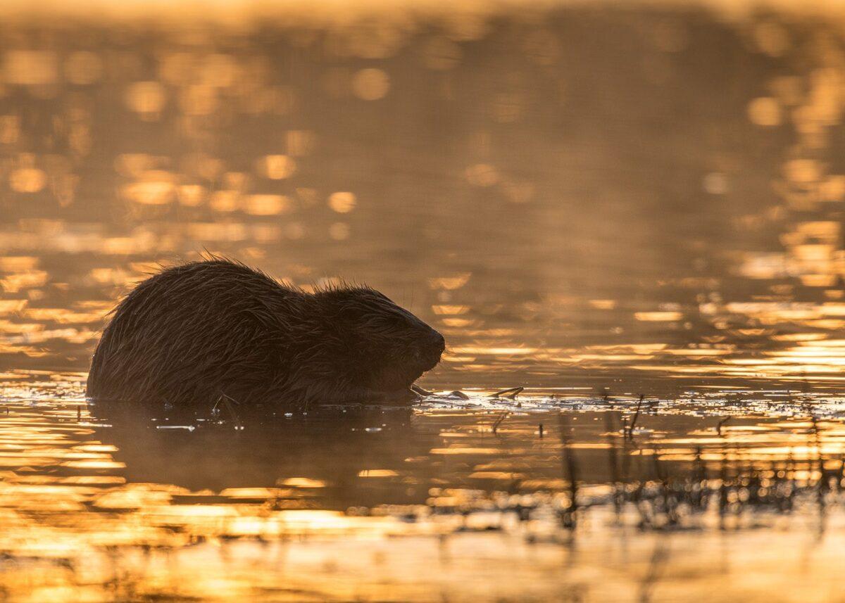 Bever på grunt vann i soloppgang, fotokunst veggbilde / plakat av Kjell Erik Moseid