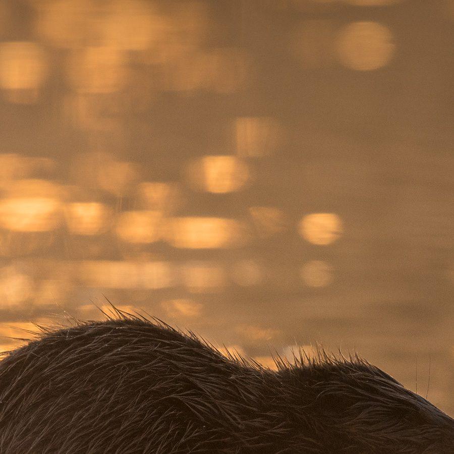 Bever i soloppgang av Kjell Erik Moseid