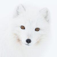 Fjellrevportrett av Kjell Erik Moseid