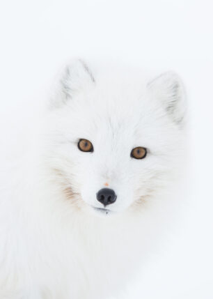 Portrett av fjellrev med rolig blikk., fotokunst veggbilde / plakat av Kjell Erik Moseid