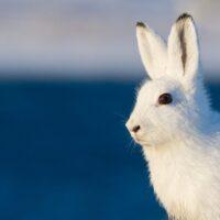 Hare mot blå bakgrunn av Kjell Erik Moseid