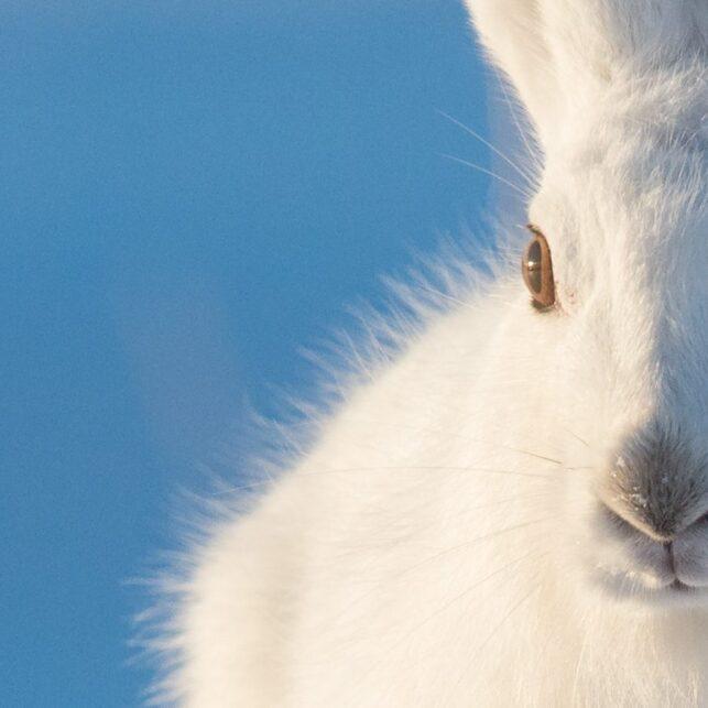 En hare hopper rett mot kameraet., fotokunst veggbilde / plakat av Kjell Erik Moseid