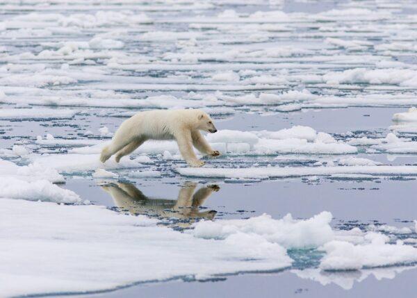 Isbjørn hopper mellom isflakene i i drivisen, fotokunst veggbilde / plakat av Kjell Erik Moseid