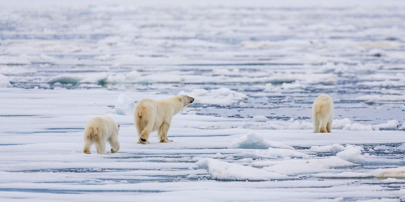 Tre isbjørner i drivisen av Kjell Erik Moseid