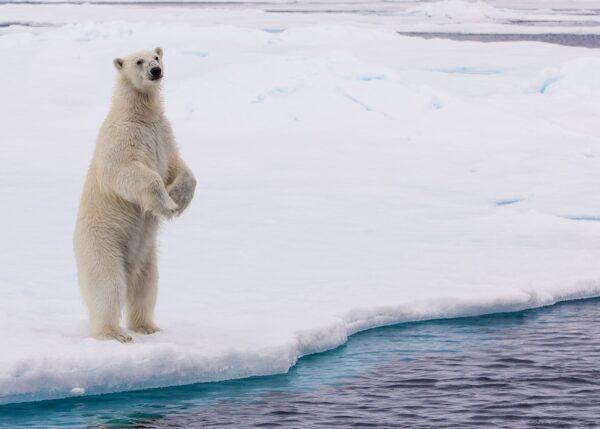 Isbjørn på to, fotokunst veggbilde / plakat av Kjell Erik Moseid