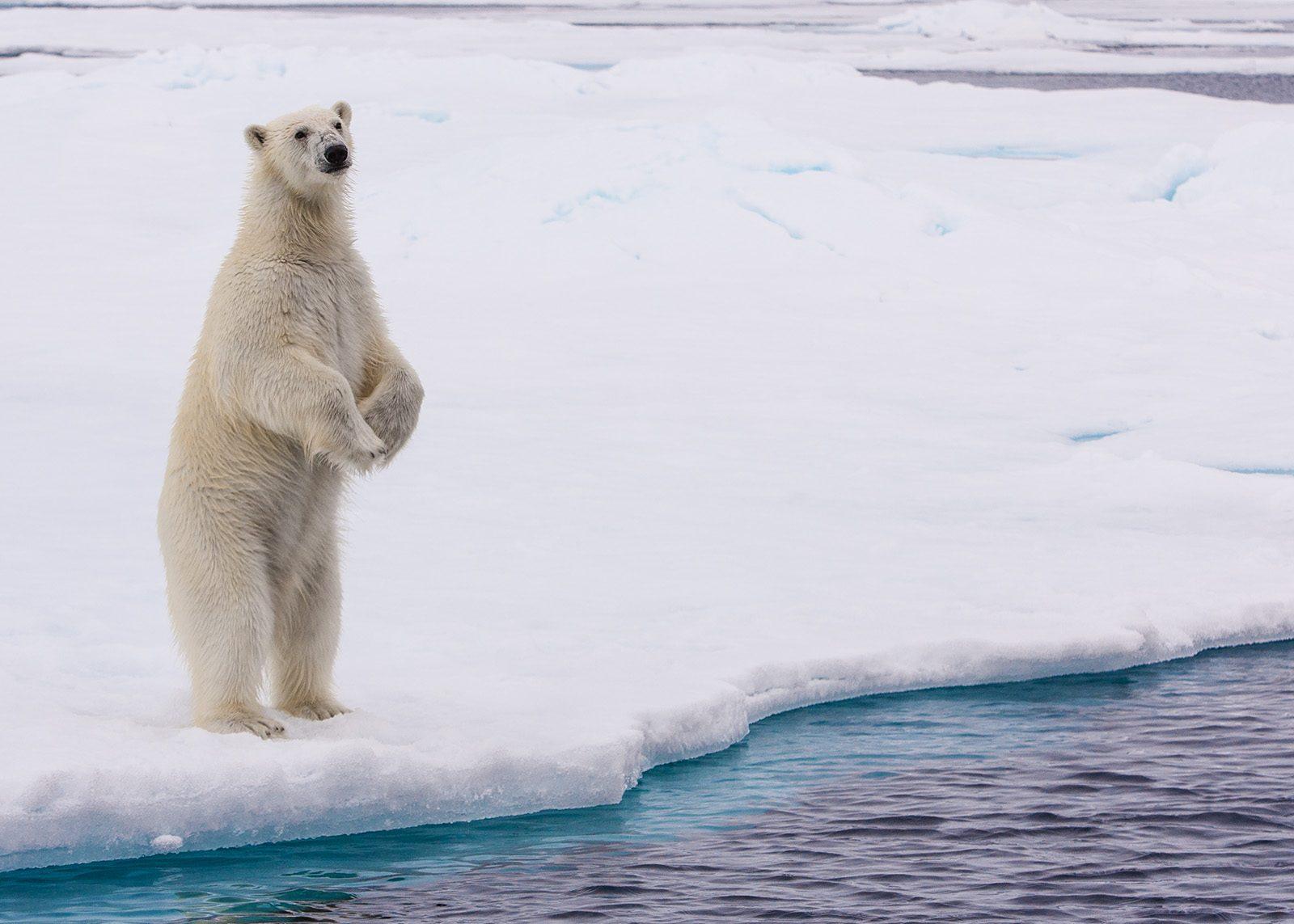 Isbjørn på to av Kjell Erik Moseid
