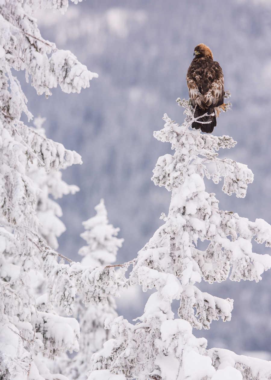 Kongeørn i vinterskog av Kjell Erik Moseid
