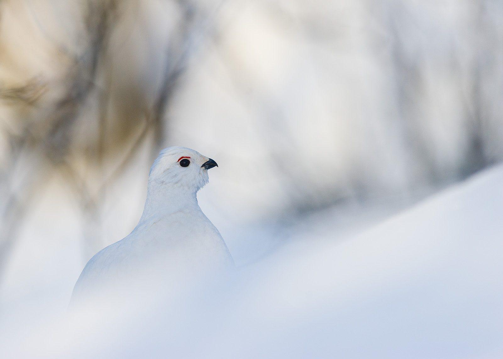Vinterrype av Kjell Erik Moseid