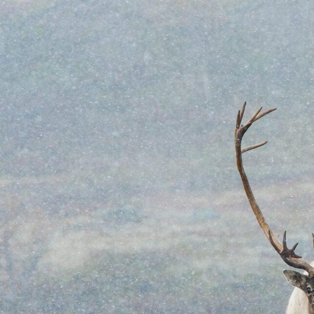 En storbukk i full brunst kommer mot kamera i høstens første snøfall, fotokunst veggbilde / plakat av Kjell Erik Moseid