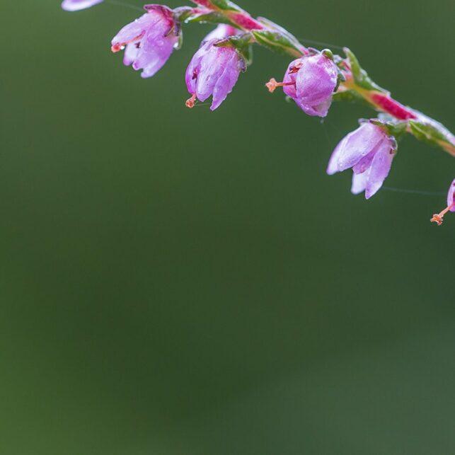 Øyenstikker på røsslyng i blomst, fotokunst veggbilde / plakat av Kjell Erik Moseid