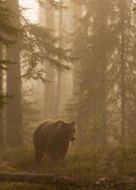 En stor hannbjørn på myra i fint kveldslys, fotokunst veggbilde / plakat av Kjell Erik Moseid