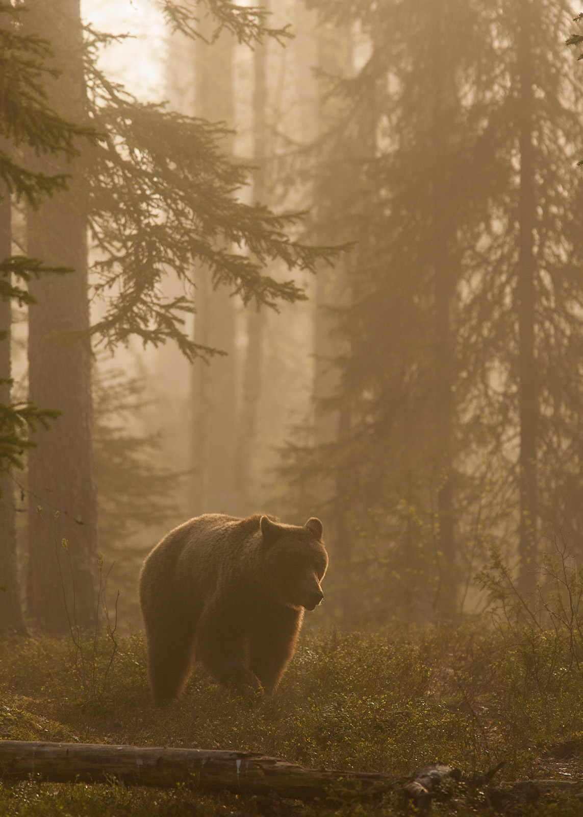 Bjørn i tåke av Kjell Erik Moseid