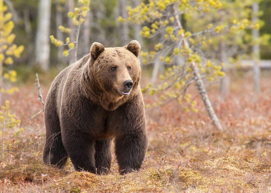 Stor bjørn på myr av Kjell Erik Moseid