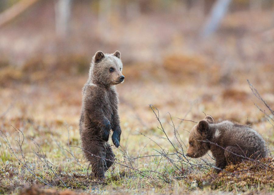 To små bjørneunger av Kjell Erik Moseid