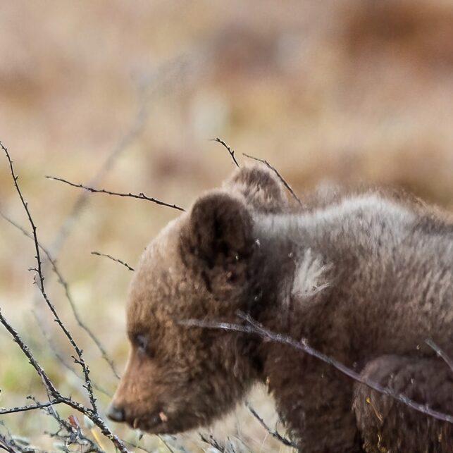 En liten bjørneunge går opp på to for å leke med en søsken, fotokunst veggbilde / plakat av Kjell Erik Moseid