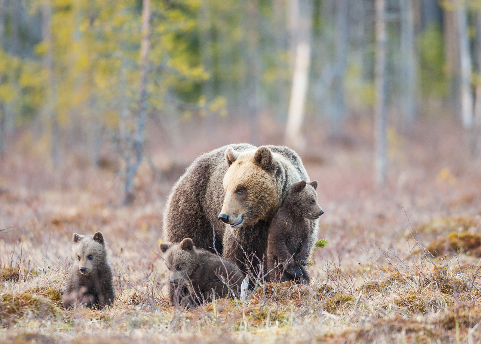 Binne med tre små unger av Kjell Erik Moseid