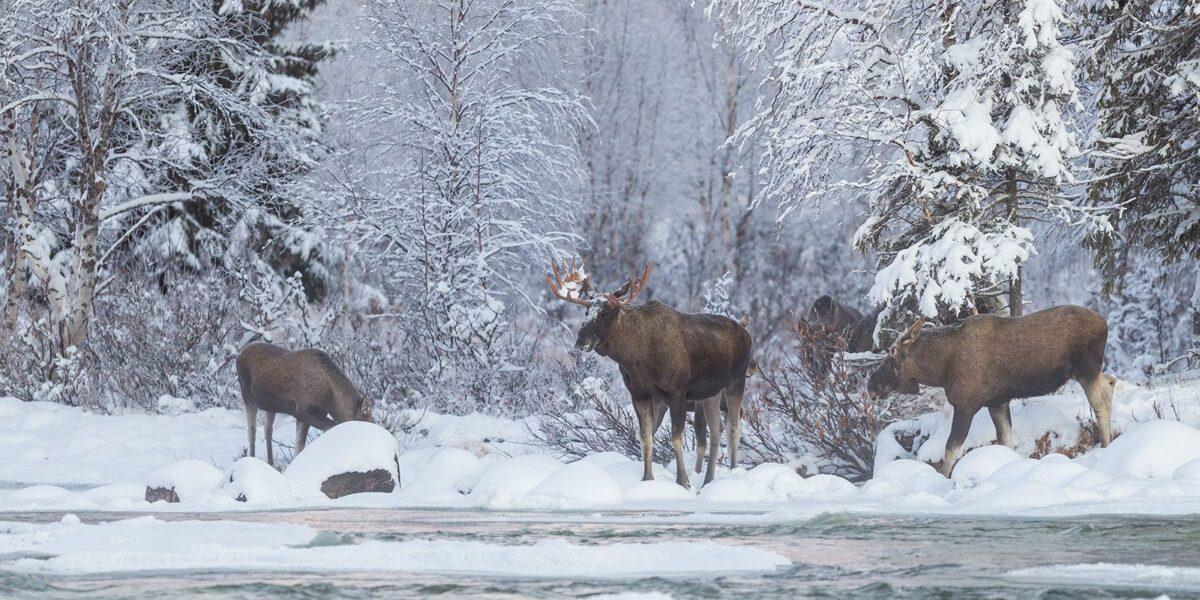 Elgene kommer ned fra fjellet og samles på bredden før de våger å krysse elva for å komme videre., fotokunst veggbilde / plakat av Kjell Erik Moseid