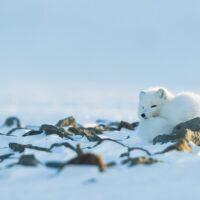 Fjellrev ruller seg sammen for å spare energi, fotokunst veggbilde / plakat av Kjell Erik Moseid
