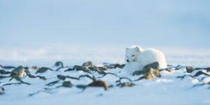 En fjellrev skuer over sitt rike, fotokunst veggbilde / plakat av Kjell Erik Moseid