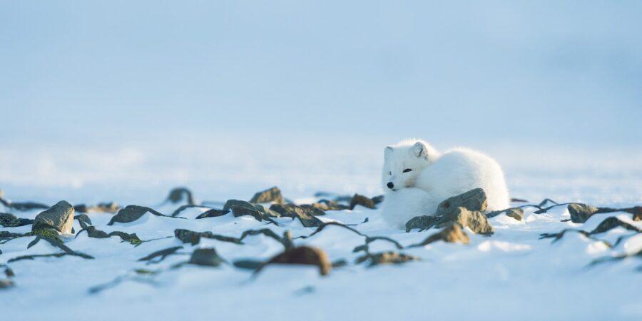 Hvilende fjellrev av Kjell Erik Moseid