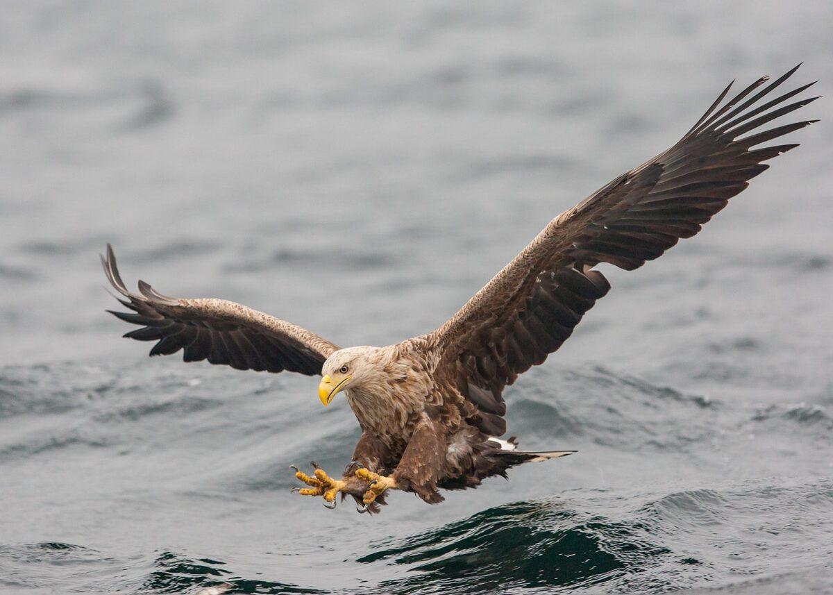 Havørn på fiske av Kjell Erik Moseid