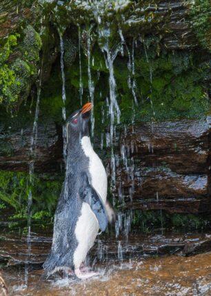 Ren, pen og nydusjet pingvin nyter vannstrålene, fotokunst veggbilde / plakat av Kjell Erik Moseid