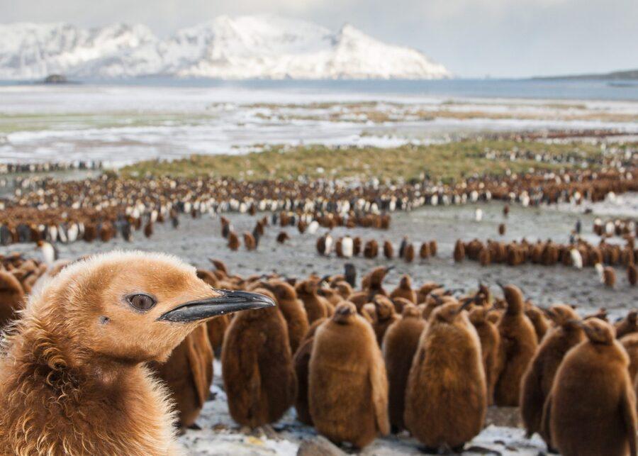 En pingvinunge i utkanten av kolonien av Kjell Erik Moseid
