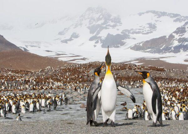 Pingvinkolonien på St.Andrews Bay er en av verdens største fuglekolonier, fotokunst veggbilde / plakat av Kjell Erik Moseid