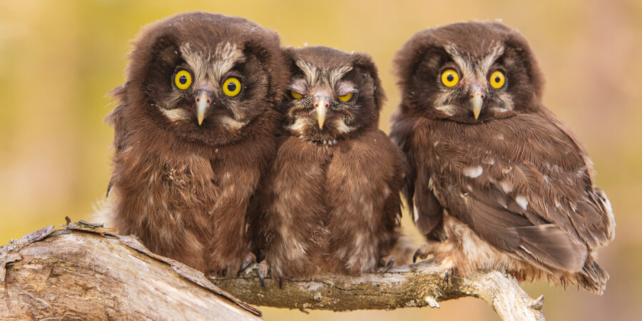 Tre perleugle-unger på ei grein av Kjell Erik Moseid