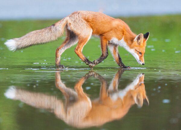 Rev som speiler seg i grunt vann, fotokunst veggbilde / plakat av Kjell Erik Moseid