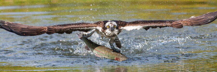 Fiskeørn med fangst av Kjell Erik Moseid