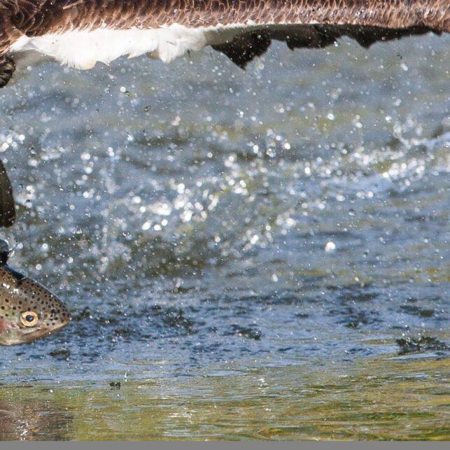 Fiskeørna letter rett imot med en regnbueørret i klørne, fotokunst veggbilde / plakat av Kjell Erik Moseid