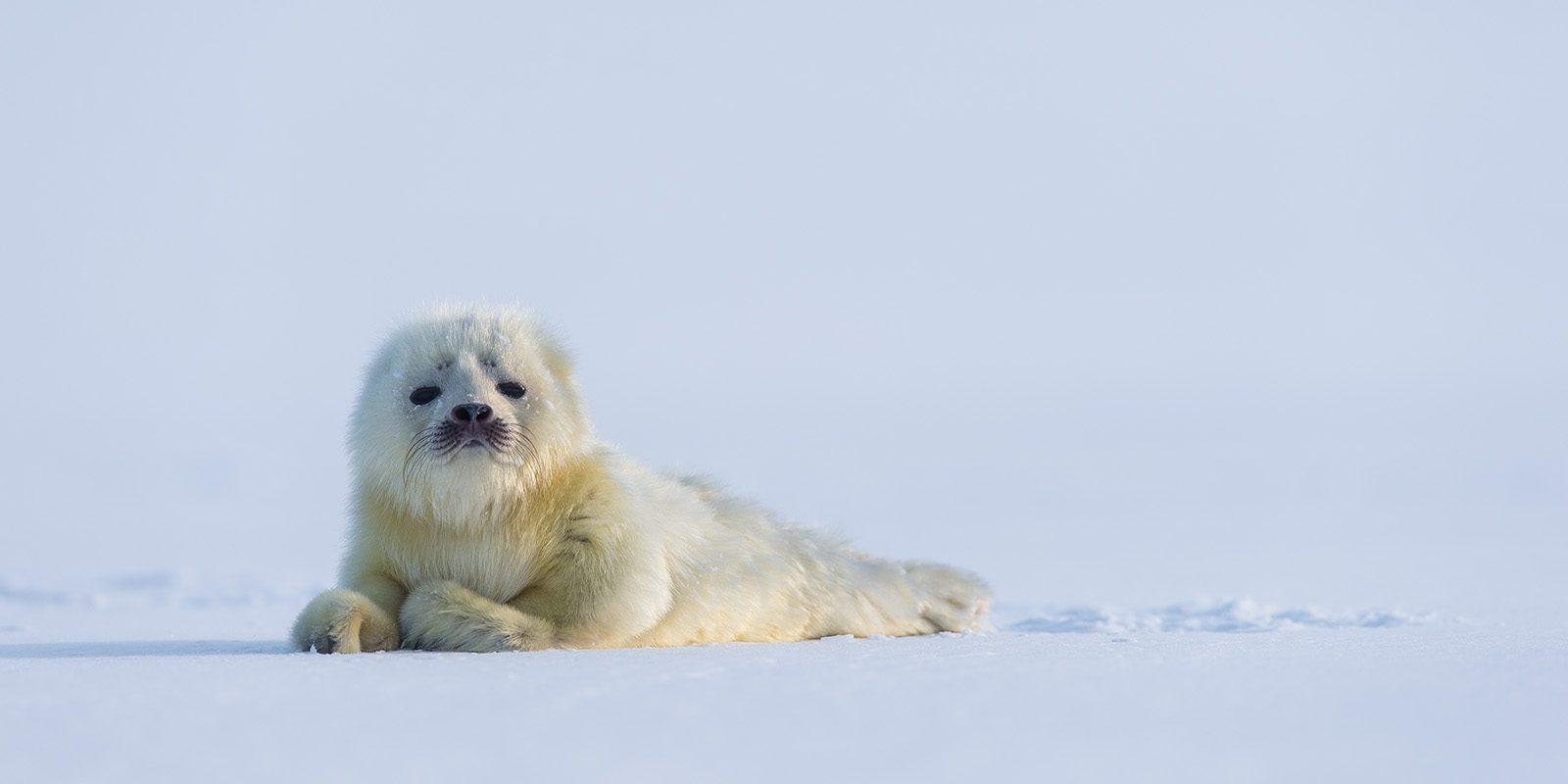 Kvitunge på isen av Kjell Erik Moseid
