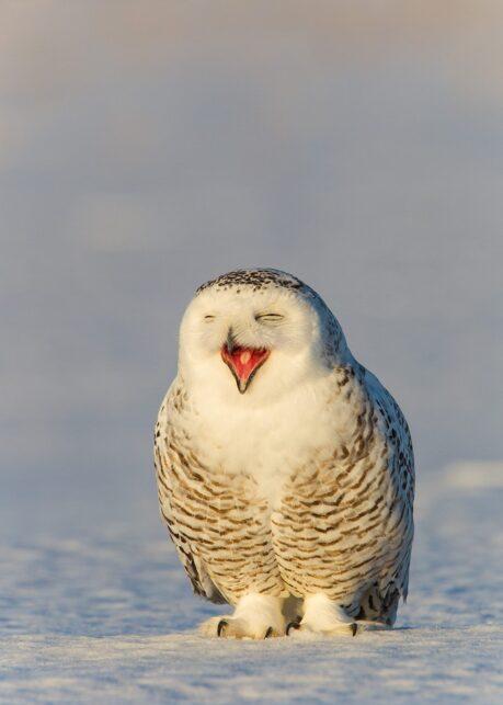 Smilende snøugle av Kjell Erik Moseid
