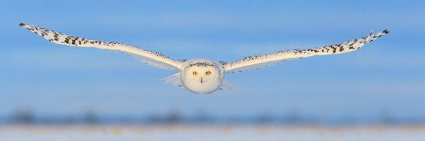 Snøugla har et naglende blikk med sine knallgule øyne, fotokunst veggbilde / plakat av Kjell Erik Moseid