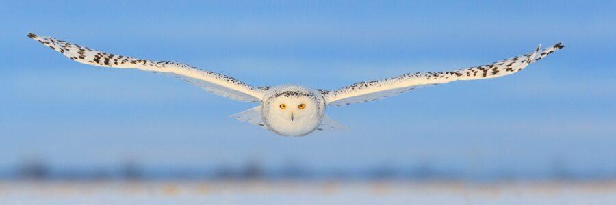 Snøugla kommer rett imot av Kjell Erik Moseid