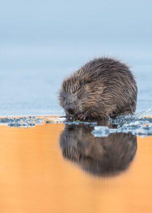 Bever speiler seg på iskanten, fotokunst veggbilde / plakat av Kjell Erik Moseid