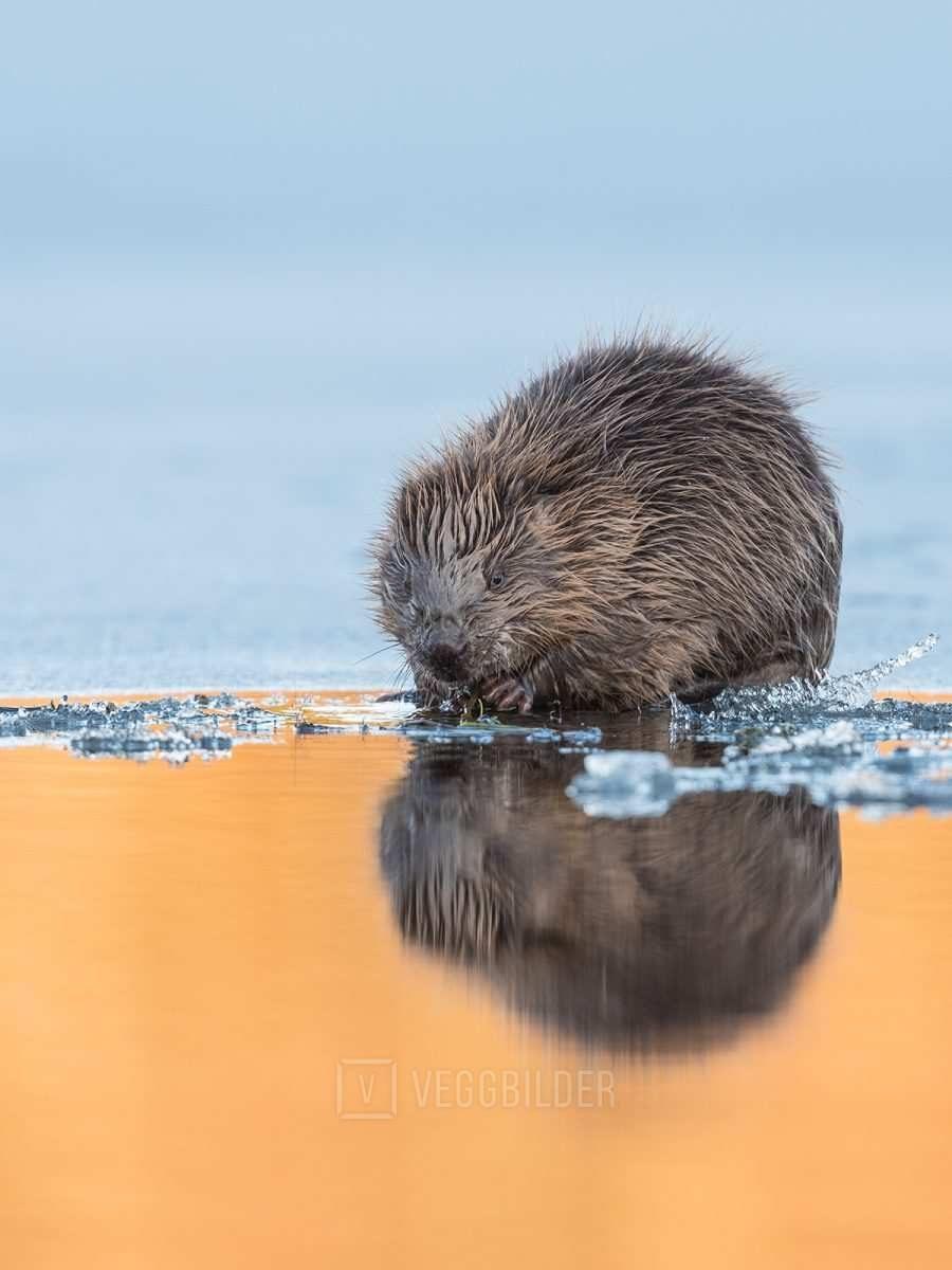 Bever på tynn is II av Kjell Erik Moseid