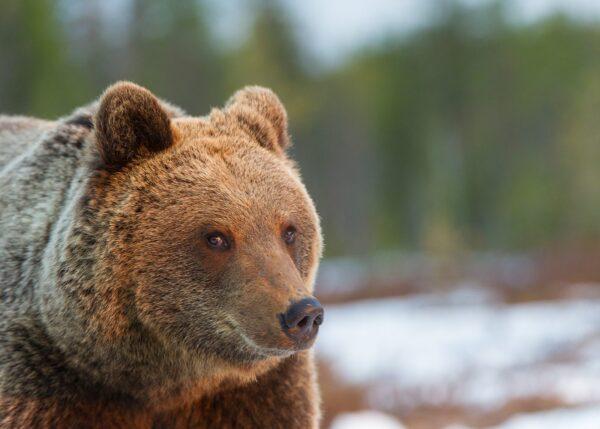 Bjørneportrett på våren, fotokunst veggbilde / plakat av Kjell Erik Moseid