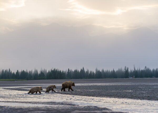 En bjørnefamilie vandrer over store områder, fotokunst veggbilde / plakat av Kjell Erik Moseid