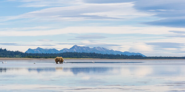 Grizzlybjørn leter muslinger, fotokunst veggbilde / plakat av Kjell Erik Moseid
