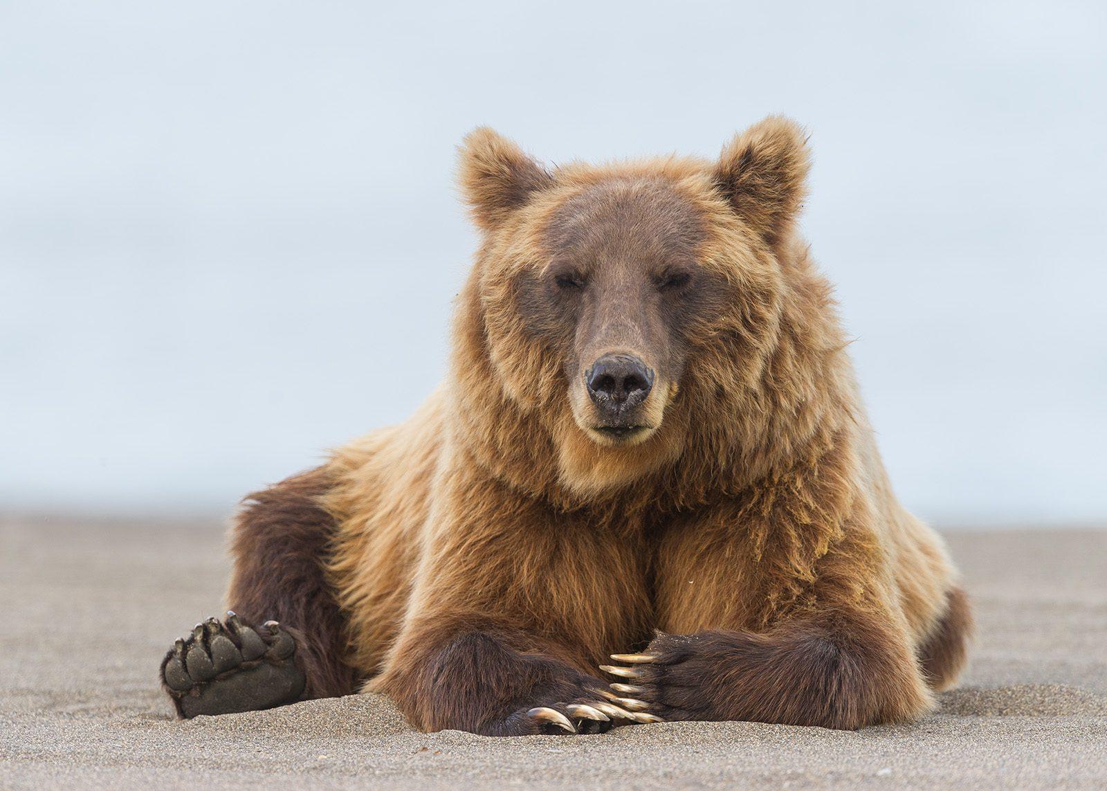 Grizzly hviler i sanden av Kjell Erik Moseid
