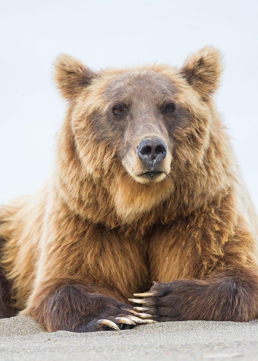 Oppmerksom grizzly hviler i sanden av Kjell Erik Moseid