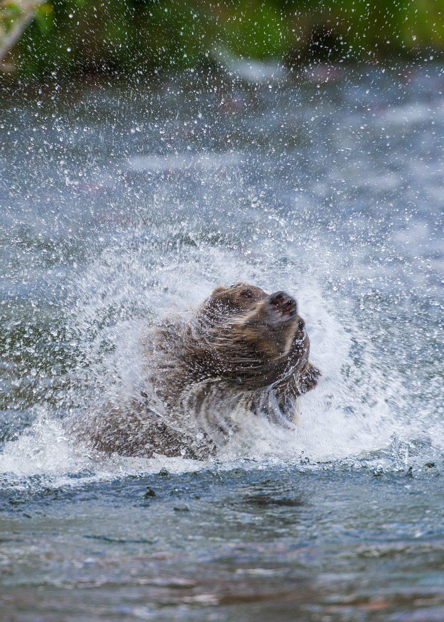 Grizzly rister seg i vann av Kjell Erik Moseid