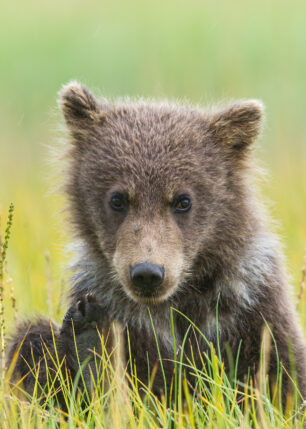 Lekelysten grizzlybjørnunge, fotokunst veggbilde / plakat av Kjell Erik Moseid