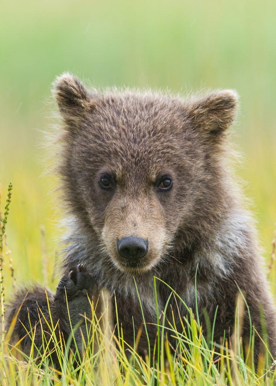 Lekelysten grizzlybjørnunge av Kjell Erik Moseid
