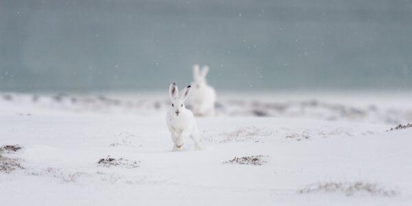 Harene kommer hoppende i lett snøvær, fotokunst veggbilde / plakat av Kjell Erik Moseid