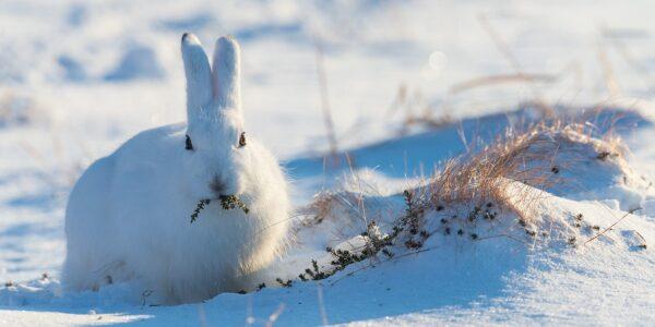 Haren ser inn i kamera mens den spiser krekling, fotokunst veggbilde / plakat av Kjell Erik Moseid