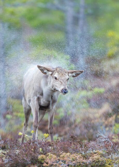 Våt hjort av Kjell Erik Moseid