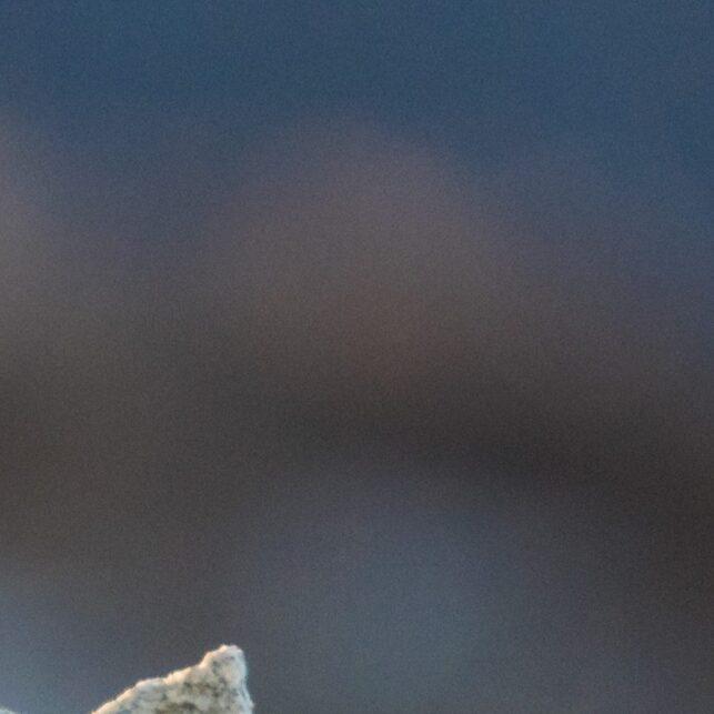 Rypestegg i motlys mot dyp blå bakgrunn, fotokunst veggbilde / plakat av Kjell Erik Moseid